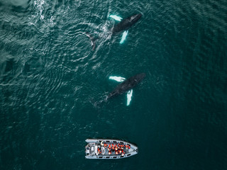 Whale watching in Iceland - a zodiac boat with people wearing red vests watching a school of humpback whales