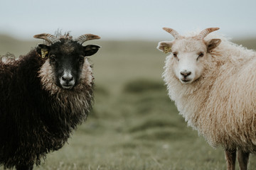Portrait of Black and White Sheep in Iceland looking at the camera