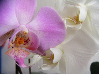 variety of orchid
