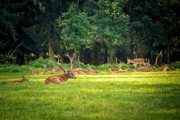 Ein Hirsch liegt auf einer Waldwiese