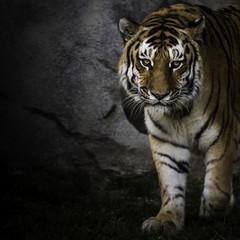 Tiger Staring at you