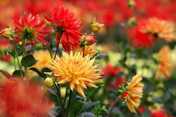 Dahlie - Kaktusdahlie - Hybride Sorte Sultan Blüten