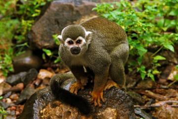 Photo sur Aluminium Singe Monkey, Devil's Island
