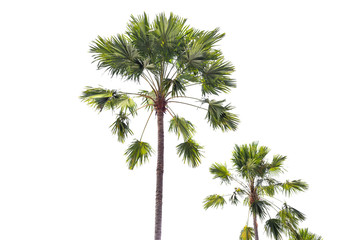 Tropical plam trees isolated