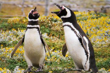 Penguin, Falkland Island