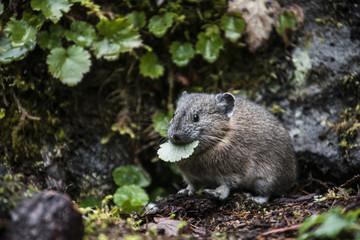 Rat eating leaf in forest