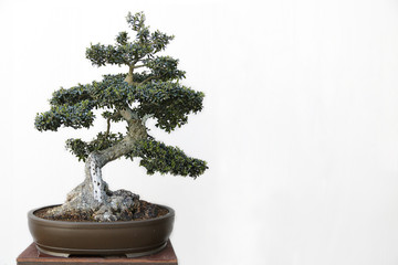 Olive (Olea europaea) bonsai on a wooden table and white background