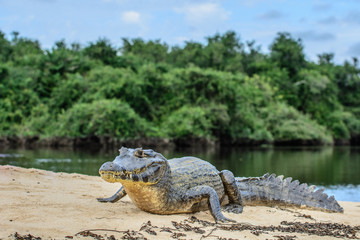 A large caiman, Caiman latirostris, walks down the beach to enter the Cuiaba River.