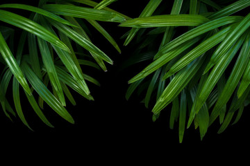 Green leaves of lady palm or bamboo palm (Rhapis excelsa) the fan palm ornamental foliage plant on black background.