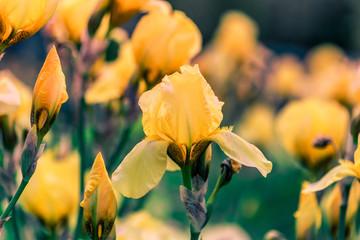 Keuken foto achterwand Iris Yellow iris flower on a green background