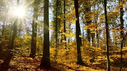 Wall Mural - Wald mit Buchen bei Sonne und blauem Himmel im Herbst, viele fallende Blätter
