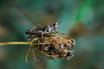 grasshopper with chevron pattern