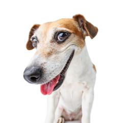confident dog muzzle staring to you! Smiling happy Jack Russell terrier. White background