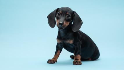 Dachshund Puppy Studio Portrait
