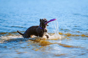 Cane Corso catches the toy in the water. A big blue suit dog is played outdoors