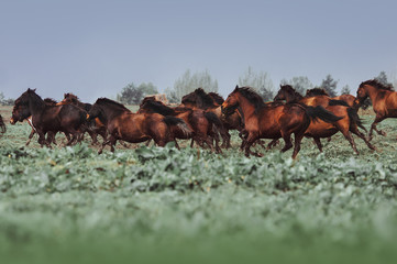 A large herd of horses of Hutsul breed. Horses galloping in the grass against the background of the rain sky