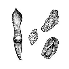 Bean, nut fruit, berry, acorn vector illustration