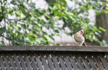 Female Cardinal on a Fence