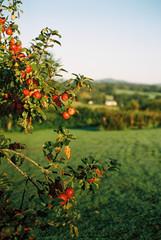 Autumn apples on an apple tree
