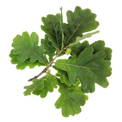 Oak branch with green leaves and acorns, isolate.