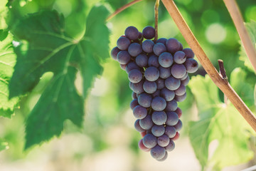Wall Mural - Grappolo uva vino nebbiolo