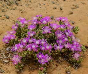 Strange looking flowering bushes in the Karoo, South Africa