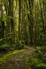 Walking Path Through Lush Rainforest