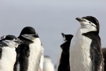 Wild chinstrap penguins standing on Antarctica Peninsula