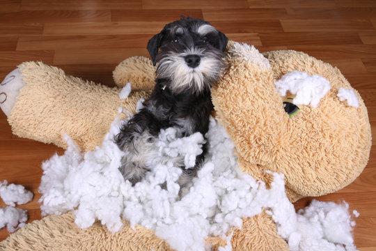 Bad naughty schnauzer dog destroyed plush toy