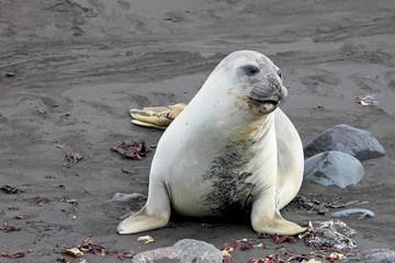 Elephant Seal, Mirounga Leonina, Antarctic Peninsula Antarctica