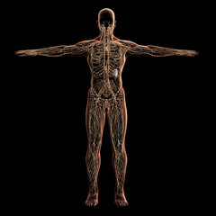 Digital model of lymphatic system, 3d rendering, black background