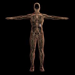 Digital model of lymphatic system, 3d rendering, black background
