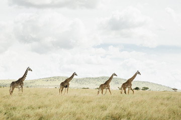 A tower of Giraffe along the Horizon