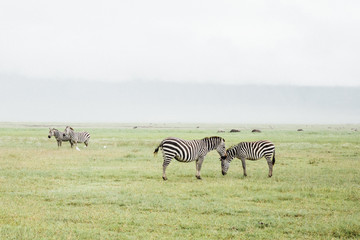 Zebra gather on Savannah