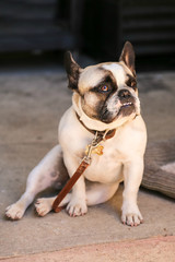 Adorable frech bulldog outside on a leash