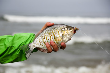 Man holding a large surf perch with a fly in it's mouth