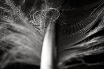 Macro background from part of the feather, selective focus, black and white photo