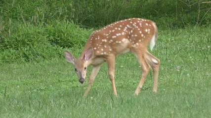 Fotoväggar - Baby White-tailed Deer (Odocoileus virginianus) on a lawn
