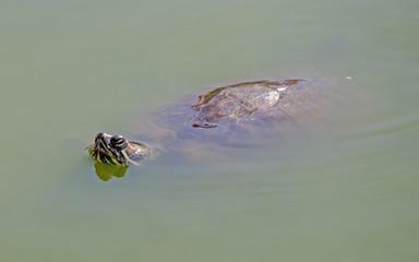 tortoises in water