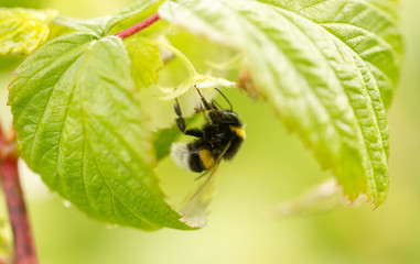 a bee on a flower in raspberries
