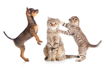 Papier Peint - puppy, adult and young cats standing isolated on white
