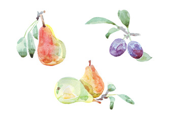 Fruits watercolor set of plums and pears. Hand painted illustration
