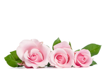 three pink rose lying on white background