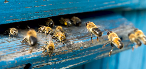 Photo sur Aluminium Bee Life of bees. Worker bees. The bees bring honey.