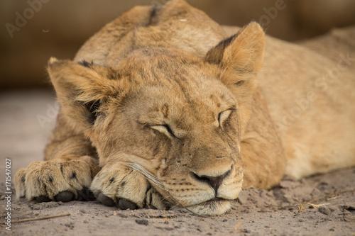 sleeping, a pride of lions, Chobe National Park, Botswana