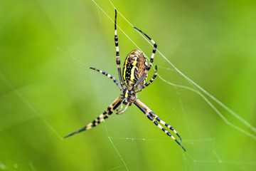 Zebraspinne im Netz