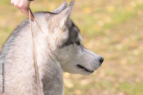 Siberian Husky Close Up Stock Photo And Royalty Free Images On