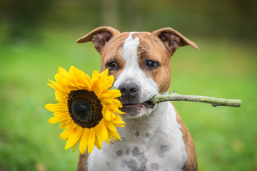 American staffordshire terrier dog holding a sunflower in its mouth