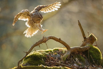 Fototapete - Landing Tawny owl with outstretched wings