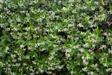Magnificent green white wallpaper with flower jasmine.